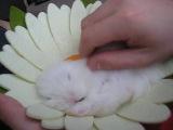 Карликовый белый голубоглазый кролик Ракета из питомника krolikikazani.ru (Владелец - Анастасия, г.Тольятти)